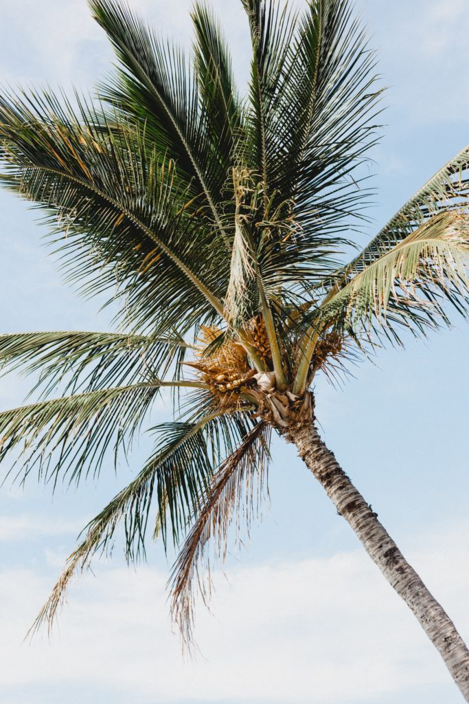 Kokospalme mit Kokosblüten